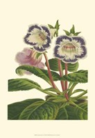 Gloxinia Garden I Fine-Art Print