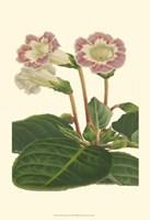 Gloxinia Garden II Fine-Art Print