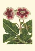Gloxinia Garden III Fine-Art Print