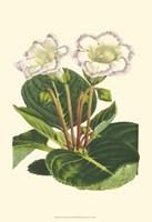 Gloxinia Garden IV Fine-Art Print