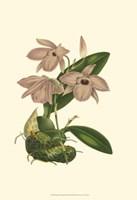 Blushing Orchids III Fine-Art Print