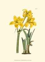 Yellow Narcissus I Fine-Art Print