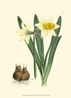Yellow Narcissus II Fine-Art Print