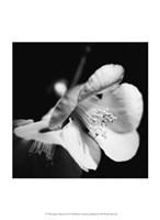 Quince Blossoms II Fine-Art Print