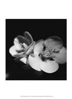 Quince Blossoms IV Fine-Art Print