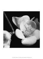 Quince Blossoms V Fine-Art Print