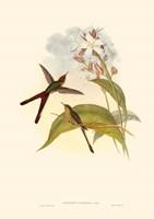 Small Gould Hummingbird III Fine-Art Print