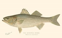 Striped Bass Fine-Art Print