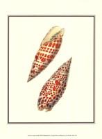 Volute Shells Fine-Art Print