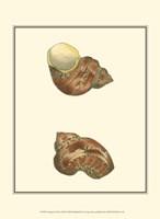 Variegated Turbo Shells Fine-Art Print