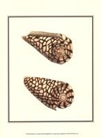 Marbled Cone Shells Fine-Art Print