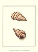 Ribband Bulla Shells Fine-Art Print