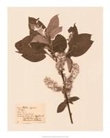 Pressed Flower Study I Giclee