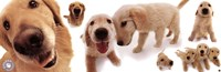 Dogs - Golden Retrievers Fine-Art Print
