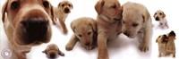Dogs - Labrador Wall Poster