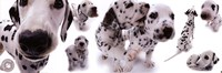 Dogs - Dalmatians Fine-Art Print