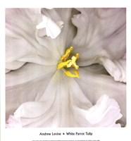White Parrot Tulip Fine-Art Print