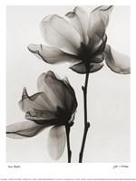 Saucer Magnolia Fine-Art Print
