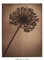 Allium I Fine-Art Print