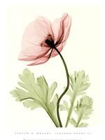 Iceland Poppy II (Med) Fine-Art Print