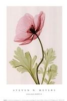 Iceland Poppy II (Sm) Fine-Art Print