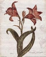 December Amaryllis Fine-Art Print