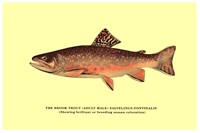 Brook Trout (Showing Brilliant or Breeding Season Coloration) Fine-Art Print