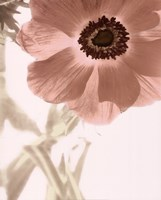Anemone Radiance Fine-Art Print