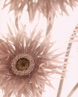Gerbera Breeze II Fine-Art Print
