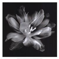 Radiant Tulip III Fine-Art Print