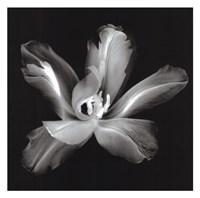 Radiant Tulip IV Fine-Art Print