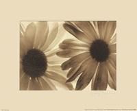 Daisies II Fine-Art Print