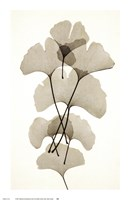 Ginko Fine-Art Print