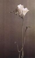 Freesia II Fine-Art Print