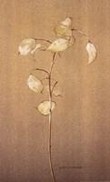 Lunaria Study II Fine-Art Print