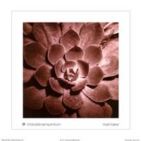 Chocolate Sempervivum Fine-Art Print