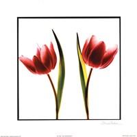 Tulip Impressions II Fine-Art Print