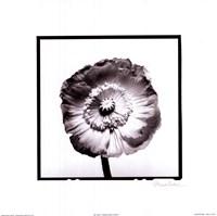 Translucent Poppy I Fine-Art Print