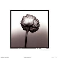 Translucent Poppy II Fine-Art Print