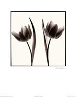 Tulip Shades II Fine-Art Print