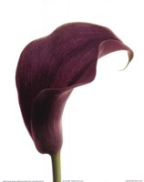 Purple Calla Lily Fine-Art Print