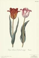 Tulipa Cultivar Fine-Art Print