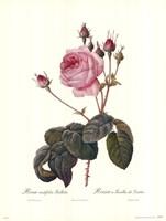 Centifolia Bullata Fine-Art Print