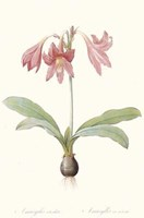 Amaryllis Reticulata Fine-Art Print