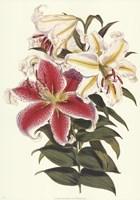 Parkman's Lily Fine-Art Print