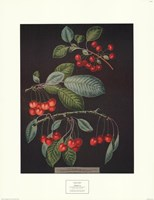 Cherries (A) Fine-Art Print
