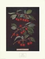 Cherries (B) Fine-Art Print