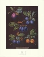 Plums (A) Fine-Art Print
