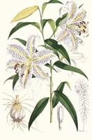 Lilium Auratum Fine-Art Print