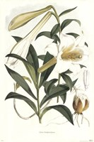 Lilium Neilgherriense Fine-Art Print